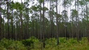 caicos pine