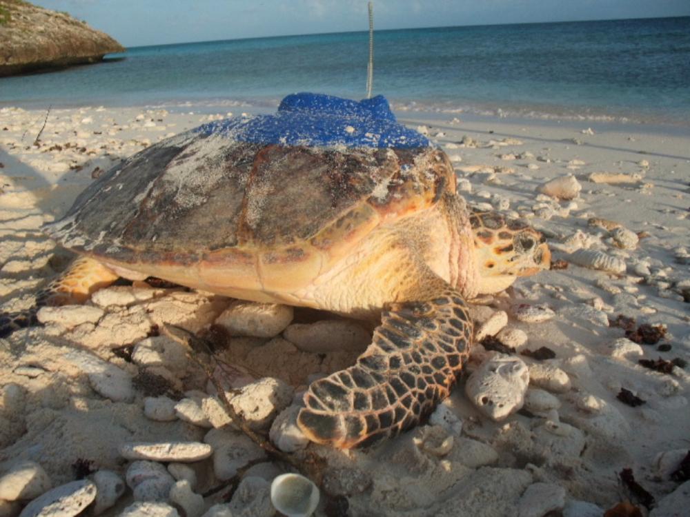 TCI Turtle Tag
