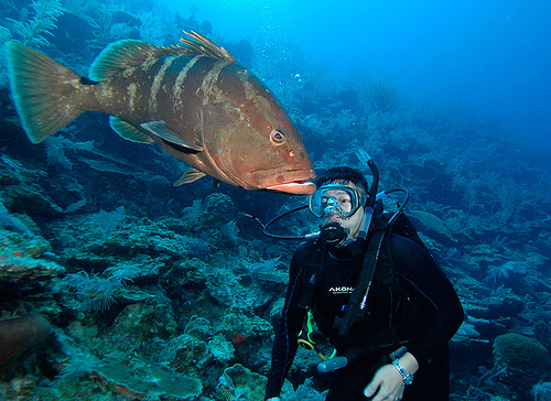 TCI Nassau Grouper