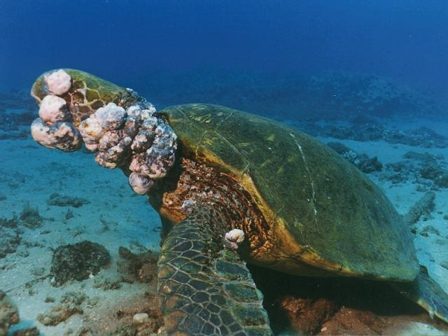 Green Turtle Disease