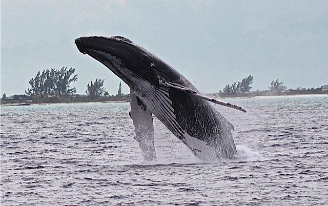 Salt Cay Whale