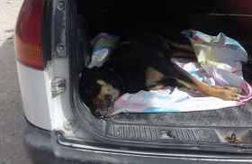 dog-in-truck