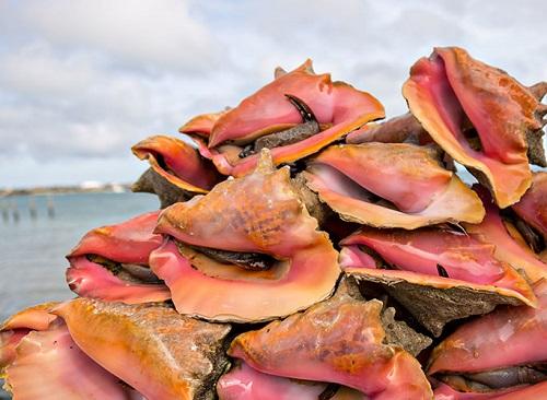 DY4XYC Live fresh conch at the fresh fish market Montagu beach Nassau, Bahamas.