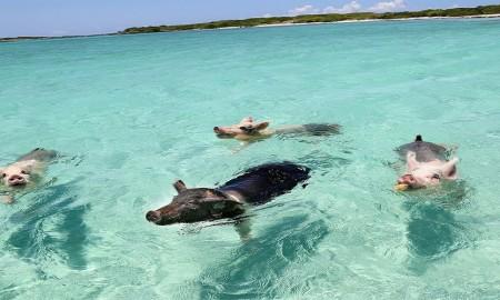 Pigs in paradise - Howie Sonnenschein