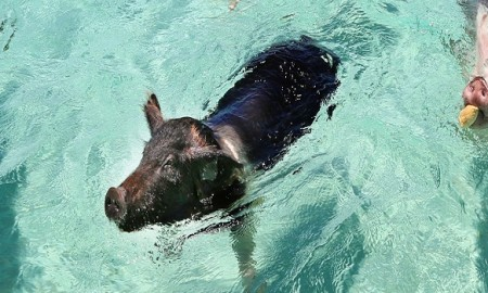 swimming-pigs-header-2_0
